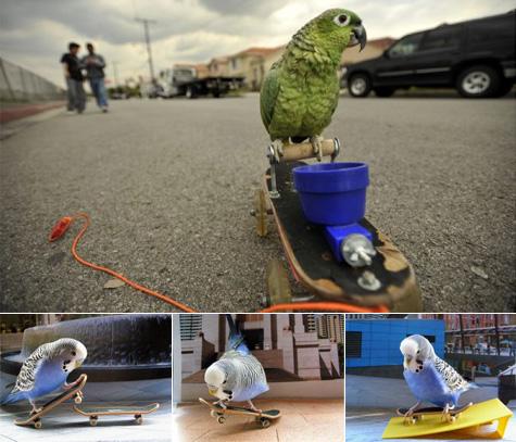 gordo skateboarding parrot - skateboarding budgies